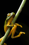 Animal, animals, frog, frogs, tree frog, tree frogs, green tree frog, green tree frogs, amphibian, amphibians, amphibious, australian, australia, graceful, tree, graceful tree frog, graceful tree frogs, litoria, gracilenta, litoria gracilenta.
