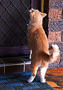Animal, animals, cat, cats, ginger, door, doors, CS34,