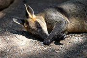 Animal, animals, wallaby, wallabies, asleep, sleep, sleeps, sleeping, CS34,