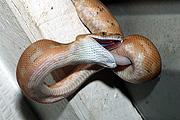 Animal, animals, reptile, reptiles, snake, snakes, python, pythons, carpet, carpet python, carpet pythons, gecko, geckos, house, house gecko, house geckos, IS62,