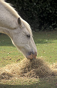 Animal, animals, horse, horses, white, white horse, white horses, hay, eat, eats, eating, Australia, Sport pictures, Sports, balloon images, hot air balloons