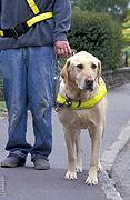 People, man, men, male, males, guide dog, guide dogs, blind, blindness, blind person, blind people, harness, harnesses, labrador, labradors, dog, dogs, domestic, domestic dog, domestic dogs, road, roads, sealed, sealed road, sealed roads, footpath, footpaths, footpath, footpaths, path, paths, pathway, pathways, Australia, Sport pictures, Sports, balloon images, hot air balloons
