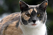 Animal, animals, felis, felis catus, feline, felines, mammal, mammals, placental mammal, placental mammals, cat, cats, carnivore, carnivores, carnivora, felidae, pet, pets, domestic animal, domestic animals, domestic cat, domestic cats, CS34,