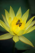 Insect, insects, bee, bees, Flora, flower, flowers, lily, lilies, waterlily, waterlilies, water lily, water lilies, yellow, yellow flower, yellow flowers, nymphaea.