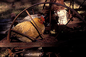 Animal, animals, bird, birds, hen, hens, chicken, chickens, roost, roosts, roosting, wheel, wheels, rust, rusts, rusting, rusted.
