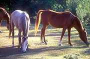 Animal, animals, horse, horses, brown, brown horse, brown horses, Australia, New South Wales, hawkesbury, hawkesbury area, hawkesbury region, hawkesbury district, hawkesbury, nsw, new South Wales, australia.