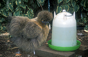Chicken, Chickens, Animal, Animals, Bird, birds, pet, pets, fowl, silky, chinese silky chicken, chinese silky chickens, chinese silkie chicken, chinese silkie chickens, silkie chicken, silkie chickens, hen, hens, poultry, austraLIA, phasianidae.
