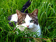 Animal, animals, cat, cats, domestic, domestic cat, domestic cats, pet, pets, lawn, lawns, JJ01,