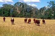 Farming, Farmland, farm, farms, livestock, animal, animals, cattle, meat industry, meat trade, great dividing range, cow, cows, australia, qld, queensland, rural, rural scene, rural scenes, goomburra.