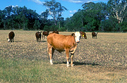 Farming, Farmland, farm, farms, livestock, animal, animals, cattle, meat industry, meat trade, cow, cows, australia, qld, queensland, rural, rural scene, rural scenes, goomburra.