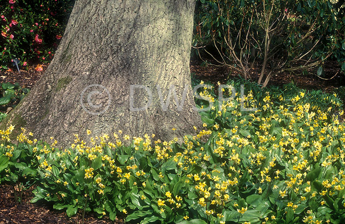 What To Grow Under Oak Trees : Flower flowers erythronium erythroniums pagoda tree trees