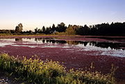 Canada, british columbia, surrey, barnston, barnston island, cranberry, cranberries, crop, crops, RW59,