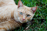 Animal, animals, lawn, lawns, felis, felis catus, feline, felines, mammal, mammals, placental mammal, placental mammals, cat, cats, carnivore, carnivores, carnivora, felidae, pet, pets, domestic animal, domestic animals, domestic cat, domestic cats.