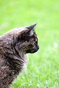 Animal, animals, felis, felis catus, feline, felines, mammal, mammals, placental mammal, placental mammals, cat, cats, carnivore, carnivores, carnivora, felidae, pet, pets, domestic animal, domestic animals, domestic cat, domestic cats.