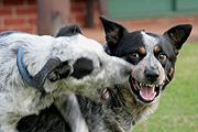 Animal, Animals, Australia, dog, dogs, domestic, domestic dog, domestic dogs, cattle dog, cattle dogs, cattle, aggressive, angry, fight, fights, fighting, dogs fighting.