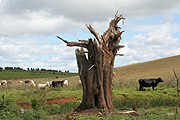 Australia, tree, trees, animal, animals, cow, cows, cattle, rural, rural scene, rural scenes, new South Wales.