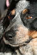 Animal, Animals, Australia, dog, dogs, domestic, domestic dog, domestic dogs, cattle dog, cattle dogs, cattle.