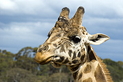 Animal, animals, giraffe, giraffes, reticulated, reticulated giraffe, reticulated giraffes, giraffa camelopardolis, mammal, mammals, mammalia, artiodactyla, gifaffidae, giraffinae, camelopardis, reticulata, camelopardis reticulata, herbivore, herbivores, herbivorous, BS65,