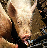 Agriculture, livestock, pig, animal, animals, pigs, meat industry, meat trade, pen, pens, sow, sows, sty, stys, pigsty, pigstys, pig sty, pig stys, drink, drinks, drinking, feeder, feeders.