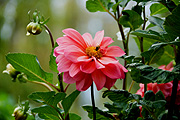 Flower, flowers, dahlia, dahlias, pink, pink flower, pink flowers, insect, insects, bee, bees.