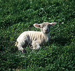 Animal, animals, sheep, meat industry, meat trade, livestock, agriculture, wool, lamb, lambs.