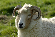 Animal, animals, sheep, meat industry, meat trade, livestock, agriculture, ewe, ewes, portland, portland sheep.