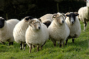 Animal, animals, sheep, meat industry, meat trade, livestock, agriculture, wool, portland, portland sheep.