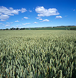 Farming, Farmland, farm, farms, Agriculture, rural, rural scene, rural scenes, crop, crops, wheat, wheat crop, wheat crops.