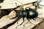 Insect, insects, beetle, beetles, black, black beetle, black beetles, stag, stag beetle, stag beetles, lucanus, cervus, lucanus cervus.