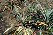 Food, fruit, pineapple, pineapples, ananas, ananas comosus, tropical fruit, tropical fruits, root rot, pineapple root rot, phytophthora.