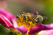Flora, flower, flowers, dahlia, dahlias, insect, insects, bee, bees.