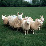 Animal, animals, sheep, ewe, ewes, lamb, lambs, border, leicester, border leicester.