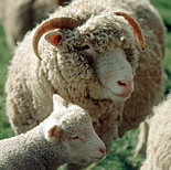 Animal, animals, sheep, meat industry, meat trade, livestock, agriculture, ewe, ewes, lamb, lambs, dorset horn, dorset horn sheep.