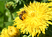Insect, insects, bee, bees, flower, flowers, yellow, yellow flower, yellow flowers.