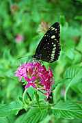 COMMON CROW BUTTERFLY (EUPLOEA CORE) ON PINK FLOWER