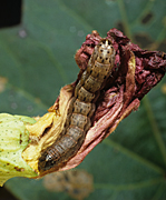 Insect, insects, moth, moths, pest, pests, caterpillar, caterpillars, armyworm, armyworms, fall, fall armyworm, fall armyworms, spodoptera, frugiperda, spodopter frugiperda, cotton, pest, pests, caterpillar, caterpillars.