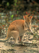 Animal, Animals, Australia, Australian, Australian animal, Australian animals, macropod, macropods, macropus, mammal, mammals, marsupial, marsupials, wallabia, kangaroo, kangaroos, wallaby, wallabies, agile, agile wallaby, agile wallabies, macropus, agilis, macropus agilis, eat, eats, eating, mangrove, mangroves.