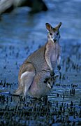 Animal, Animals, Australia, Australian, Australian animal, Australian animals, joey, joeys, macropod, macropods, macropus, mammal, mammals, marsupial, marsupials, wallabia, kangaroo, kangaroos, wallaby, wallabies, agile, agile wallaby, agile wallabies, macropus, agilis, macropus agilis.