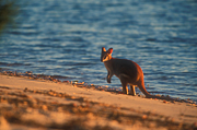 Animal, Animals, Australia, Australian, Australian animal, Australian animals, macropod, macropods, macropus, mammal, mammals, marsupial, marsupials, wallabia, kangaroo, kangaroos, wallaby, wallabies, agile, agile wallaby, agile wallabies, macropus, agilis, macropus agilis, beach, beaches, sand, seashore, seashores, shoreline, shorelines.