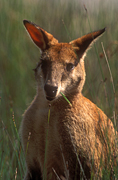Animal, Animals, Australia, Australian, Australian animal, Australian animals, macropod, macropods, macropus, mammal, mammals, marsupial, marsupials, wallabia, kangaroo, kangaroos, wallaby, wallabies, agile, agile wallaby, agile wallabies, macropus, agilis, macropus agilis, eat, eats, eating, grass.