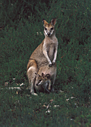 Animal, Animals, Australia, Australian, Australian animal, Australian animals, macropod, macropods, macropus, mammal, mammals, marsupial, marsupials, wallabia, kangaroo, kangaroos, wallaby, wallabies, agile, agile wallaby, agile wallabies, macropus, agilis, macropus agilis, joey, joeys, baby, babies.