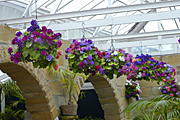 Flower, flowers, primula, primulas, basket, baskets, hanging basket, hanging baskets, pot, pots, potted, garden pot, garden pots, outdoor pot, outdoor pots.