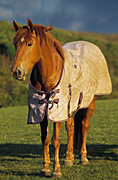 Animal, animals, horse, horses, blanket, blankets, Australia, Sport pictures, Sports, balloon images, hot air balloons