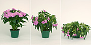 Flower, flowers, impatien, impatiens, busy, busy lizzie, busy lizzies, water, dry, lack of water, pot, pots, potted, indoor, indoor plant, indoor plants.