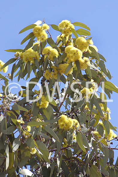A Royalty Free Image Of Yellow Flowering Gum Tree Eucalyptus