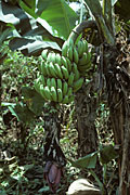 Food, fruit, fruit tree, fruit trees, banana, bananas, banana tree, banana trees, poor, fruit, fruiting, banana, Musa, paradisiaca, plant, plants, week, black, sigatoka, black leaf streak disease, Mycosphaerella, fijiensis, fungus, fungal, crop, plant, disease.