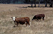 Australia, sa, south australia, Australia, Farming, Farmland, farm, farms, Cow, Cows, animal, animals, cattle, meat industry, meat trade, beef, hereford, herefords, beef cow, beef cows, beef cattle.