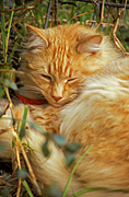 Animal, animals, cat, cats, domestic, domestic cat, domestic cats, ginger, ginger cat, ginger cats.