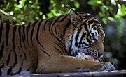 Animal, Animals, Cat, Cats, tiger, tigers, mammal, mammals, placental mammal, placental mammals, carnivore, carnivores, felidae, bengal, bengal tiger, bengal tigers, eat, eats, eating, meat.