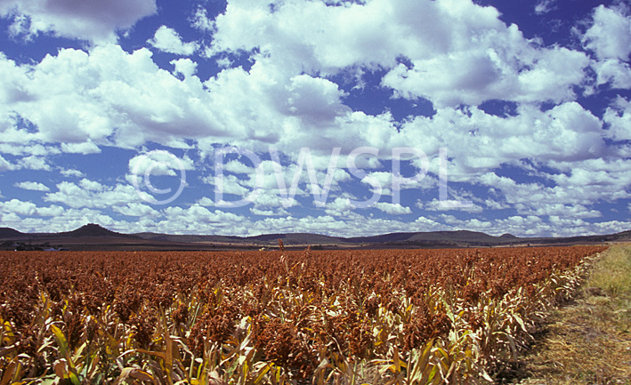 stock photo image: Australia, qld, queensland, darling downs, great dividing range, sorghum, crop, crops, rural, rural scene, rural scenes, cloud, clouds.